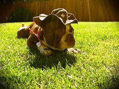 #cowboy #bostonterrier #dog