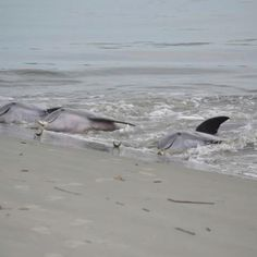 I could not get enough of dolphin watching here! Dolphin feeding at Seabrook Island, SC