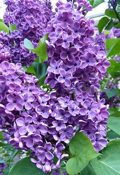 We had huge lilac bushes at our house when I was growing up in Michigan. I loved to breathe in that divine scent! Purple Flowers, Spring Flowers, Beautiful Flowers, Purple Lilac, Lilac Tree, Purple Roses, Lilac Bushes, Purple Themes, Deco Floral