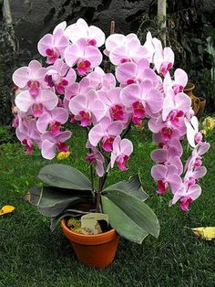 Tips on Propagating your orchid plants at Beautiful Flowers, Beautiful Orchids, Planting Flowers, Unusual Flowers, Amazing Flowers, Orchid Plants, Trees To Plant, Flower Garden, Pretty Flowers