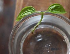 Basilicum is een van de gemakkelijkste kruiden om zelf te kweken: Knip de bovenste twee centimeter van je nog verse plantje en haal voorzichtig de blaadjes eraf, de bovenste twee laat je zitten. Zet het uiteinde van dit ministekje vervolgens onder water en wacht tot het uiteinde ontspruit. Als de wortels dik genoeg zijn zet je het plantje in de grond en voilá: binnen een paar weken heb je een nieuwe voorraad basilicum!
