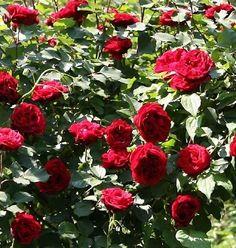 don juan climbing rose don juan is the red rose fragrant full - Fragrant Roses