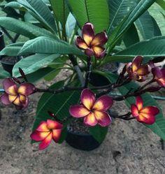 Joe S Jamaica fire Rare Flowers, Exotic Flowers, Tropical Flowers, Amazing Flowers, Colorful Flowers, Beautiful Flowers, Plumeria Tree, Plumeria Flowers, Lilies Flowers
