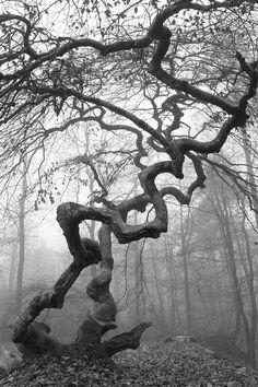 Fagus sylvatica var. tortuosa - Fau  de Verzy dans le brouillard - Fagus sylvatica var. tortuosa said twister is a beech forest that grows in Verzy near Reims in France