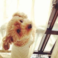 Toy poodle - love!!
