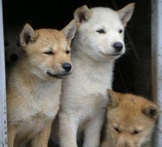 Hokkaido Inu Dog