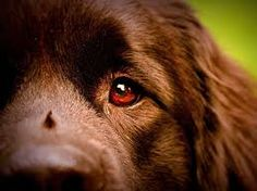 Image result for newfoundland dog light brown photographers