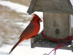 10 a lot of pictures cardinal bird food for beloved pets : Bird Feeders For Cardinals And Bluejays. Bird feeders for cardinals and bluejays. Wood Bird Feeder, Best Bird Feeders, Feeding Birds In Winter, What Is A Bird, Bird House Kits, Bird Aviary, Christmas Bird, Christmas Animals, Merry Christmas