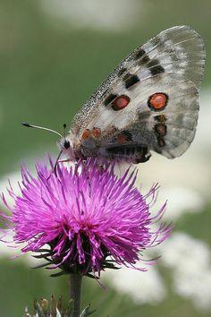 Niepylak apollo (Parnassius apollo) – motyl z rodziny paziowatych (Papilionidae). Jeden z największych w Polsce motyli dziennych.
