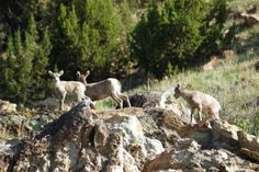 See if you can spot baby big horn sheep rock climbing in Black Mesa State Park & Nature Preserve in far northwestern Oklahoma.