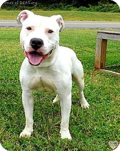 Westampton, NJ - American Staffordshire Terrier Mix. Meet Ace D-61380, a dog for adoption. http://www.adoptapet.com/pet/11646577-westampton-new-jersey-american-staffordshire-terrier-mix