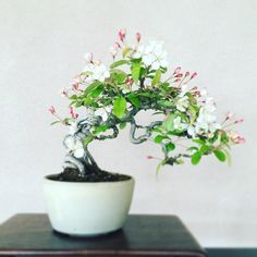 358 отметок «Нравится», 2 комментариев — Fukujuen (@bonsai_fukujuen) в Instagram: «ズミ Malus toringo #bonsai #japan #盆栽»