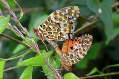 Photo Indian Fritillary by uruu  on 500px