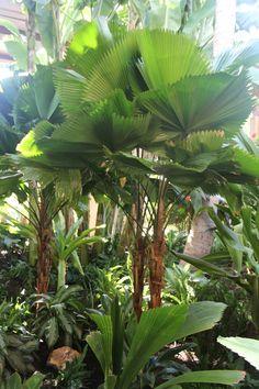 Licuala peltata - Licuala Palm