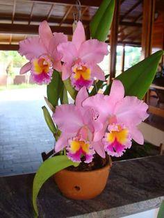 Orquídea Real