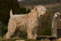 Irish Soft Coated Wheaten Terrier.