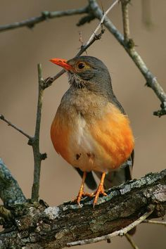 Kurrichane Thrush:plump, soft-plumaged, small to medium-sized birds, inhabiting wooded areas, and often feed on the ground.They are insectivorous, but most species also eat worms, land snails, and fruit. Many species are permanently resident in warm climates, while others migrate to higher latitudes during summer, often over considerable distances.