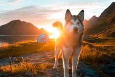 Paras tapa majoittua Jäämeren rannalla, Lofooteilla Fox, Animals, Animales, Animaux, Animal Memes, Animal, Foxes, Animais, Dieren