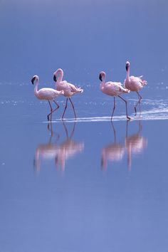"""Flamingo Reflections"" Photography by Wolfgang Kaehler buy now as poster, art print and greeting card.."