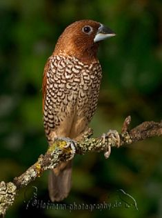 Gorgeous bird. The spice finch