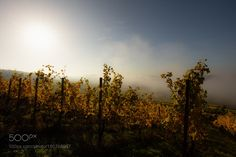 sunrise over the vineyards by honjo1 #nature #mothernature #travel #traveling #vacation #visiting #trip #holiday #tourism #tourist #photooftheday #amazing #picoftheday