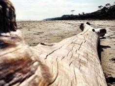 Drift wood on Sea Pines Beach, Hilton Head Island