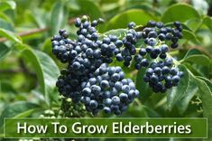 How To Grow Elderberries - in your garden from cuttings or seed... #gardening #homestead #homesteading