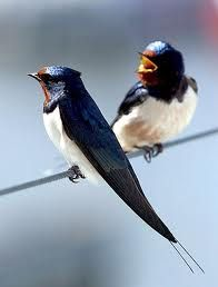Swallows by Rondini Pretty Birds, Love Birds, Beautiful Birds, Animals Beautiful, Rare Animals, Animals And Pets, Funny Animals, World Birds, Bird Pictures