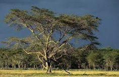 La sabana intertropical, la que todos situamos en África, es una extensa llanura que podría situarse en el término medio en la transición de un bosque