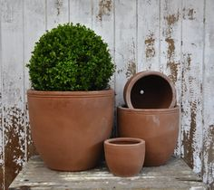 Bay tree in terracotta egg pot, from Brookfield Garden Centre