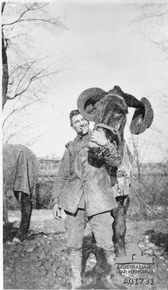 First World War, 1914-1918, Belgium. Corporal D G Pender holding a mule with a slouch hat on each ear, demonstrating the strength and size of the animal's ears. Note Corporal Pender is smoking a pipe. Australian War Memorial, Canberra (Australia).