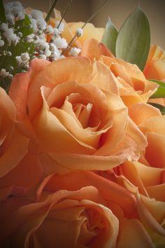 Apricot Roses - So Pretty