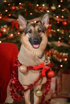 "shepherd-tails: ""Kylie is a present, Mika wants presents, and Avy just wanted to help decorate the tree… Happy Holidays, everyone! Dog Christmas Pictures, Christmas Puppy, Christmas Animals, Christmas Cats, Red German Shepherd, Australian Shepherd Dogs, German Shepherd Puppies, Funny Animal Pictures, Dog Pictures"
