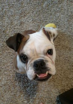 Is she a valley bulldog you think? She doesn't look like the typical english bully.http://ift.tt/2r0yVQu