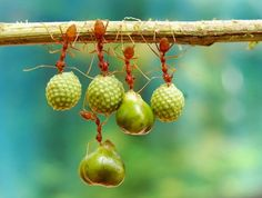 Teamwork in the Ant world