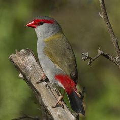 Red-browed Finch is an estrildid finch that inhabits the east coast of Australia.