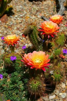 Cactus in flower, Saguaro National Park Desert Flowers, Desert Plants, Desert Cactus, Sonora Desert, Agaves, Cactus Y Suculentas, Echeveria, Cacti And Succulents, Mother Nature