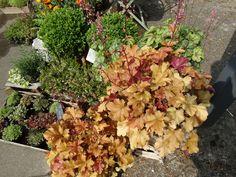 Heuchera marmadale lush for patios parties! www.funkyflowers.org