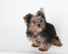 """While the name porkie conjures up images of a fat little dog resembling a piglet, a porkie puppy is actually a cross between the Yorkshire terrier and the Pomeranian. This mixed-breed """"designer dog"""" also goes by the name Yoranian. No matter what their name, porkie puppies are cute."""