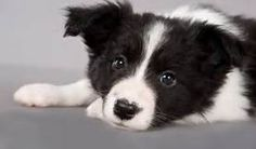 border collies puppies - Yahoo Image Search Results