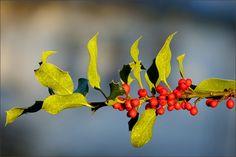 Beeren der Stechpalme - Jahreszeiten - Galerie - Community