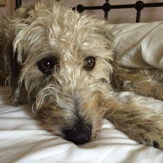 Lurcher (Bedlington Terrier x Whippet) Bedlington Whippet, Lurcher, Scottish Deerhound, Irish Wolfhounds, Dog Lover Gifts, Dog Lovers, Losing A Dog, Hound Dog, Nature Animals