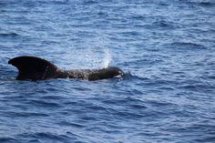 Kookospalmun alla blogi oli 2019 syksyllä vapaaehtoistyössä valaiden ja delfiinien parissa Teneriffalla Ekomatkaajien kautta yhteistyönä. Katso blogista, mitä kaikkea tähän unohtumattomaan kokemukseen sisältyikään! 🐬🐳 // www.kookospalmunalla.fi // Volunteering with whales and dolphins in Tenerife in 2019. See more about the work and the animals in the blog! #kookospalmunallablog #ekomatkaajat #ecotravellers #matkablogi #travelblog #travelblogger #matkabloggaaja #vapaaehtoistyö #volunteer Canary Islands, Whale, Safari, Lifestyle, Animals, Santiago, Teneriffe, Whales, Animales