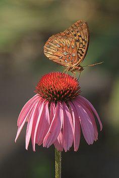 ~~Butterfly on coneflower by debbie_dicarlo~~