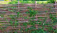 Woven Willow Fence Twined Bindweed Against Stock Photo (Edit Now) 360224888