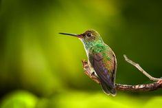 Hummingbird by Karel Donk on 500px