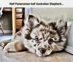 Half Pomeranian half Australian Shepherd.     Everything is better when it's Australian