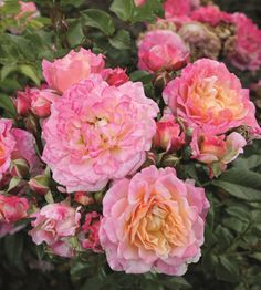 Pensasruusu Country Girl Purple Roses, Lilac, Plants Online, Order Flowers, Spray Roses, Bulb Flowers, Outdoor Plants, Love At First Sight, Country Girls