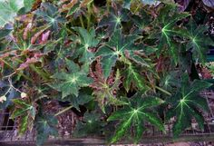 Begonia 'Star Search'