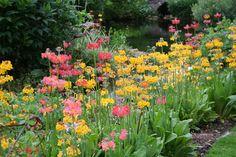 Primula japonica at Berchigranges Garden, Northeast France